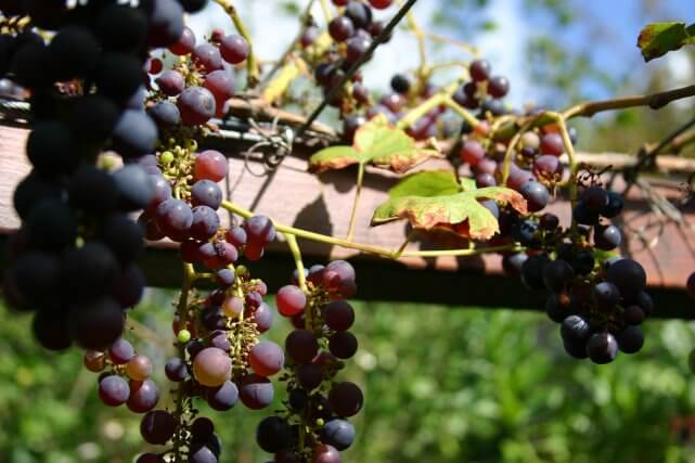 Grapes on a log